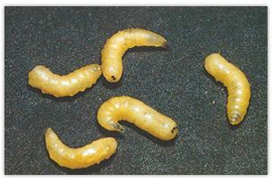 Ronner heinz ag sch dlingsbek mpfung fassadenschutz for Fliegen larve